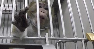 Les obstacles qui empêchent le remplacement des tests sur animaux